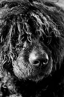 Dog with Hair Covering its Eyes