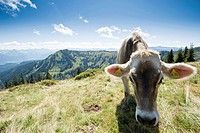 Cattle on pasture, hiking area Nagelfluhkette, Sonthofen, Oberallgau, Bavaria, Germany
