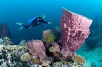 Scuba Diver and Barrel Sponge, Xestospongia testudinaria, Cenderawasih Bay, WestáPapua, Papua New Guinea, New Guinea, Oceania
