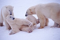 Playful polar bears _ Churchill, Manitoba