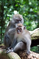 Monkeys at the Gunung Leuser National Park, jungle near Bukit Lawang in North Sumatra province, Island of Sumatra, Indonesia, Southeast Asia