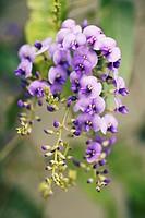 Sarsaparilla, Hardenbergia violacea, Australian.