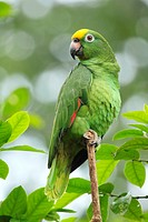Avian,  Activity,  Amazona Ochrocephala,  Animal,  Behaviour,  Biome,  Bird,  Color Image,  Forest,  Granivore,  Granivorous,  Habitat,  Herbivore,  I...
