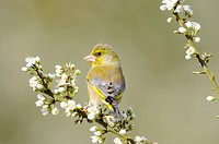 Greenfinch, carduelis chloris, male perched Blackthorn Blossom, Norfolk, UK, April