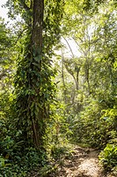 Jungle pathway from Old Bank to Wizard Beach on Isla Bastimentos, Bocas del Toro, Panama