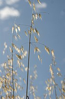 Oats, Avena fatua, Wild oats.