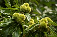 Chestnut, Castanea sativa, Sweet chestnut.