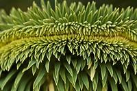 Spurge, Euphorbia.
