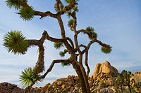 USA, California, Joshua Tree National Park, Joshua tree in desert