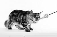 Querformat: Maine Coon Katze, silver tabby, mit Spielzeug, auf weißem Hintergrund