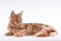 Querformat: Maine Coon Katze, red tabby, liegend auf weißem Hintergrund