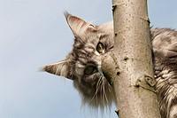 Querformat: Maine Coon Katze schaut hinter einem Ast hervor, blauer Himmel