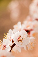 Close_up of cherry blossom