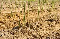 Spargelfeld _ asparagus field 27