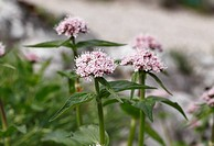 Austria, Styria, Mountain Valerian, close up