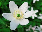 Wood anemone, Anemone nemerosa