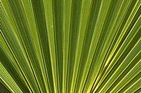 Washingtonia filifera, California fan palm