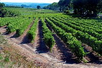 Vineyards in the Herault valley, France
