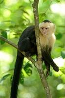 White-headed or White-faced Capuchin (Cebus capucinus), Manuel Antonio National Park, Costa Rica, Central America