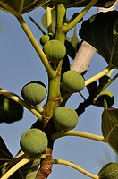 Figs growing on a fig tree (Ficus carica), Crete, Greece, Europe