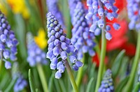 Armenian grape hyacinth Muscari armeniacum