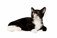 Black and white domestic short hair kitten