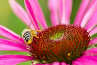 Purple Coneflower (Echinacea purpurea), detail, Hesse, Germany, Europe
