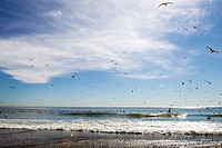 seagulls over the ocean, doheny park, California