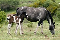 horses grazing in the meadows Guadalaviar and Griegos, Montes Universales, Teruel, Aragon, Spain