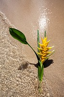 yellow heliconia flower