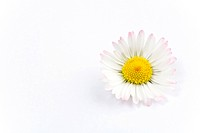 Daisy in front of white background