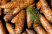 Detail of fir cones