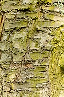 Bark of a tree overgrown with moss