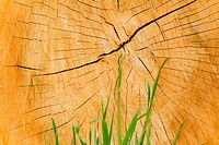 Cracked tree trunk behind grass