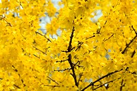 Yellow blooming Forsythia