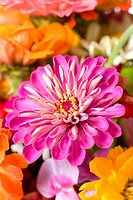Detail of a pink Chrysanthemum in a bunch of flowers