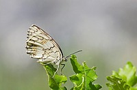 Balkan Marbled White Melanargia larissa, Greece