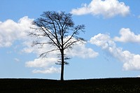 An oak tree on a hill in a field with blue sky and fluffy white clouds in the background