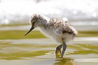 Pied Avocet (Recurvirostris avosetta) chick, Texel, The Netherlands, Europe