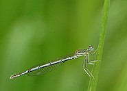 White-legged Damselfly or Blue Featherleg (Platycnemis pennipes), female, Bad Hersfeld, Hesse, Germany, Europe