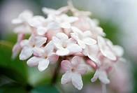 Viburnum x juddii, Viburnum, Pink subject.