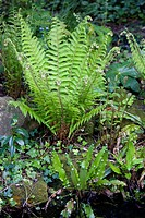 Dryopteris filix_mas, Fern, Male fern, Green subject.