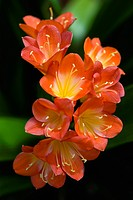 Clivia miniata, Clivia, Orange subject.