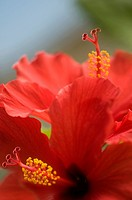 Hibiscus rosa_sinensis, Hibiscus, Red subject.