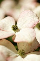 Cornus kousa, Dogwood, Flowering dogwood, Pink subject.