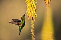 Netherlands, Oranjestad, Sint Eustatius Island, Dutch Caribbean, Green Throated Carib Hummingbird  Eulampis holosericeus