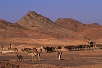 Saudi Arabia, Near Medina, Bedouins Herding Camels