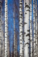 Birch, betula, tree trunks and bark  Location Iisvesi Finland Scandinavia Europe