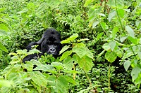 Rwanda, Volcano National Park, Mountain Gorilla Gorilla Gorilla Beringei
