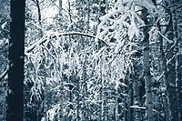 snow covered branches of trees in winter wood